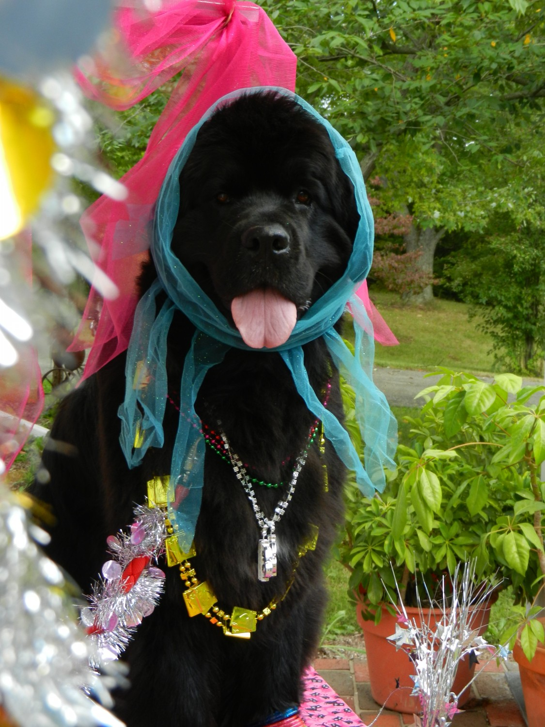 Joie, a Newfoundland, dressed up as a fortune teller
